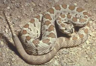 http://www.hikethegeek.com/LA/Images/Animals/Rattlesnake.jpg